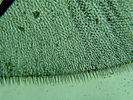 Housefly wing