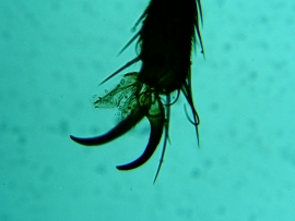 Housefly foot