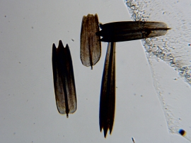 Scales of a moth wing