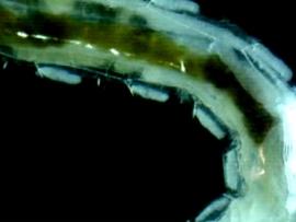 Algae eater worm