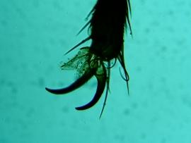 Piciorus de musca comuna