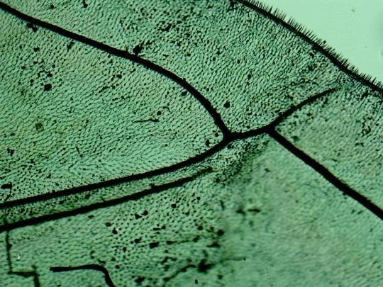 Musca-viespe