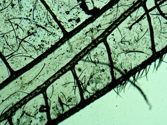 Musca de voal (genul Neuroptera)