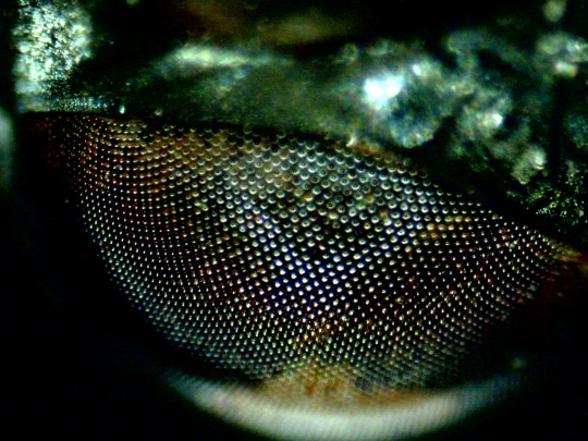 Ochi musca comuna