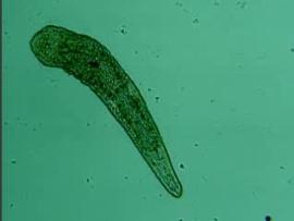 Microturbellaria