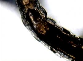 Viermisor mancator de alge