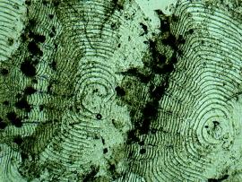 Solzi peste specia Melanotaenia praecox