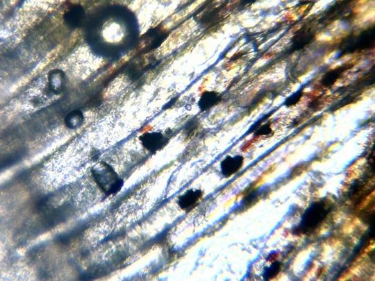 Inotatoare codala peste Melanotaenia praecox